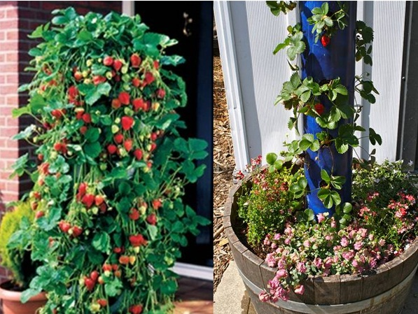 Strawberry-Tube-Planter-4