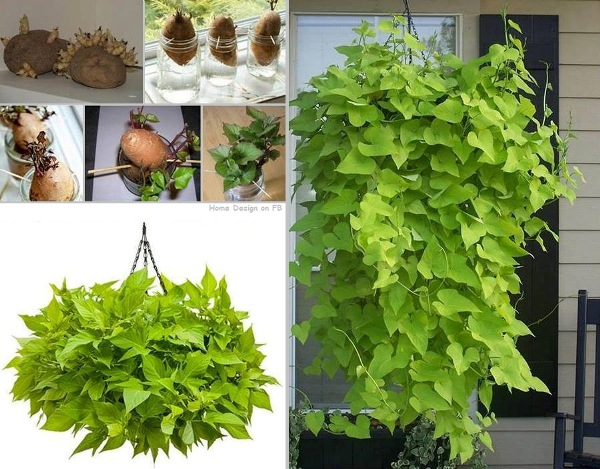 Potato-Vine-Plant